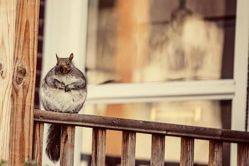Honey that squirrel you've been feeding is back.
