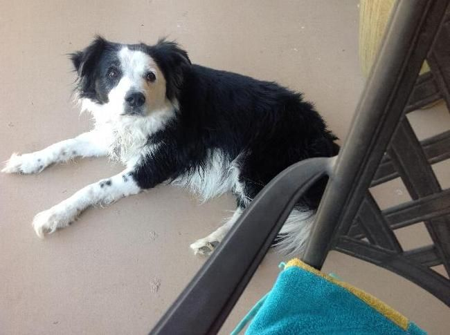 Petsitter Needed For Border Collie Including Overnight At House