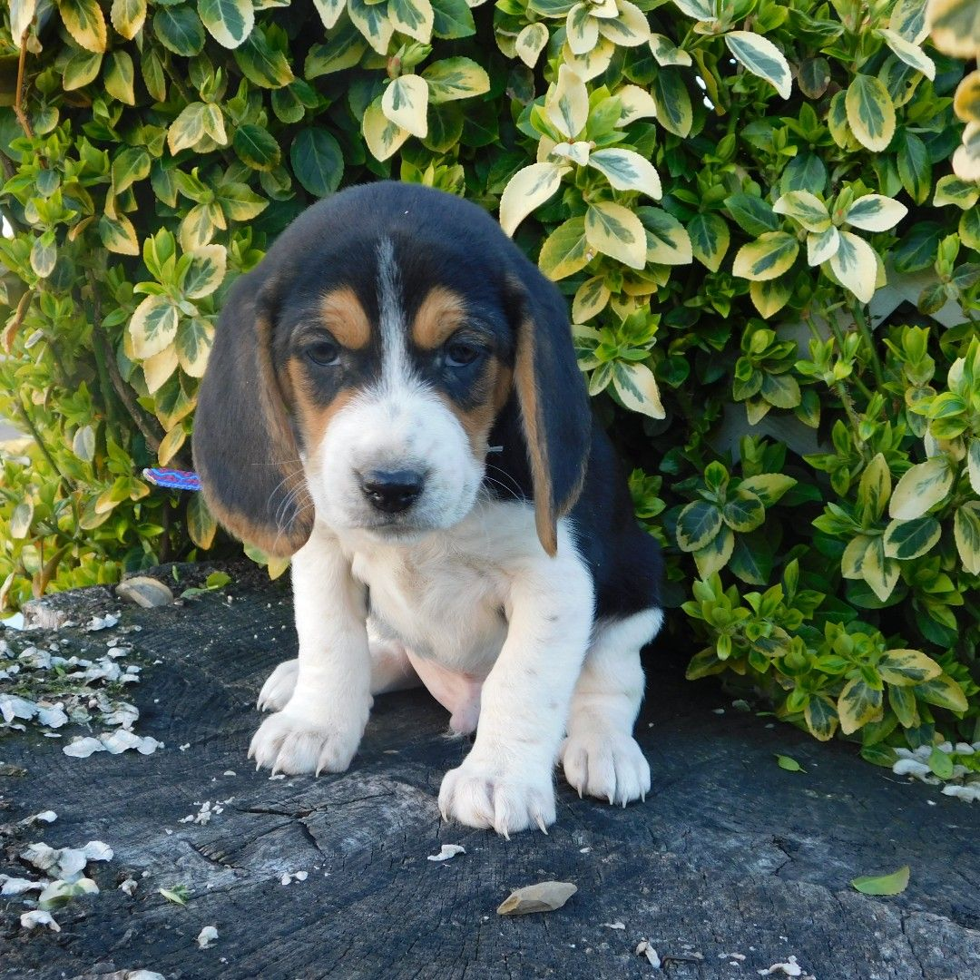 Puppies For Sale Beagle Puppy Puppies Nature Animals