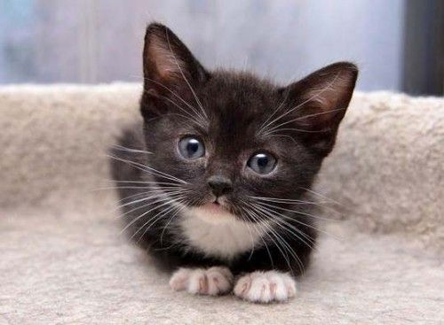 Cute Black White Kitten Staring Kittens Cutest Cute Cats Cute Animals