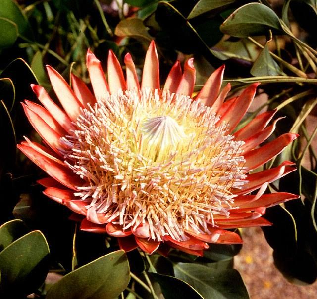 National Flowers Of World Countries Central African Republic King Protea Www Facebook Com Flow Central African African Countries Central African Republic
