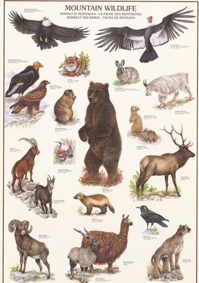 mountain wildlife american range animal education poster 27x39