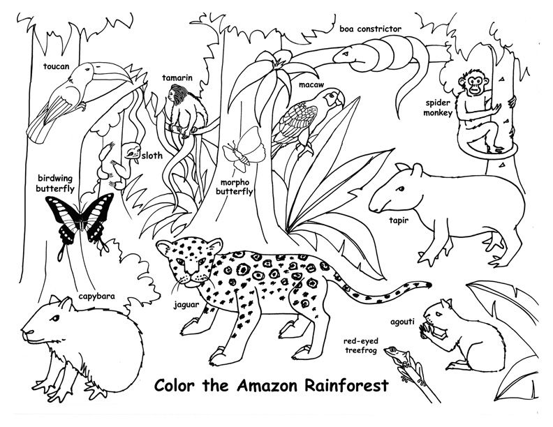 Draw An Amazon Rainforest Rainforest Animals Amazon Rainforest Animals Jungle Coloring Pages