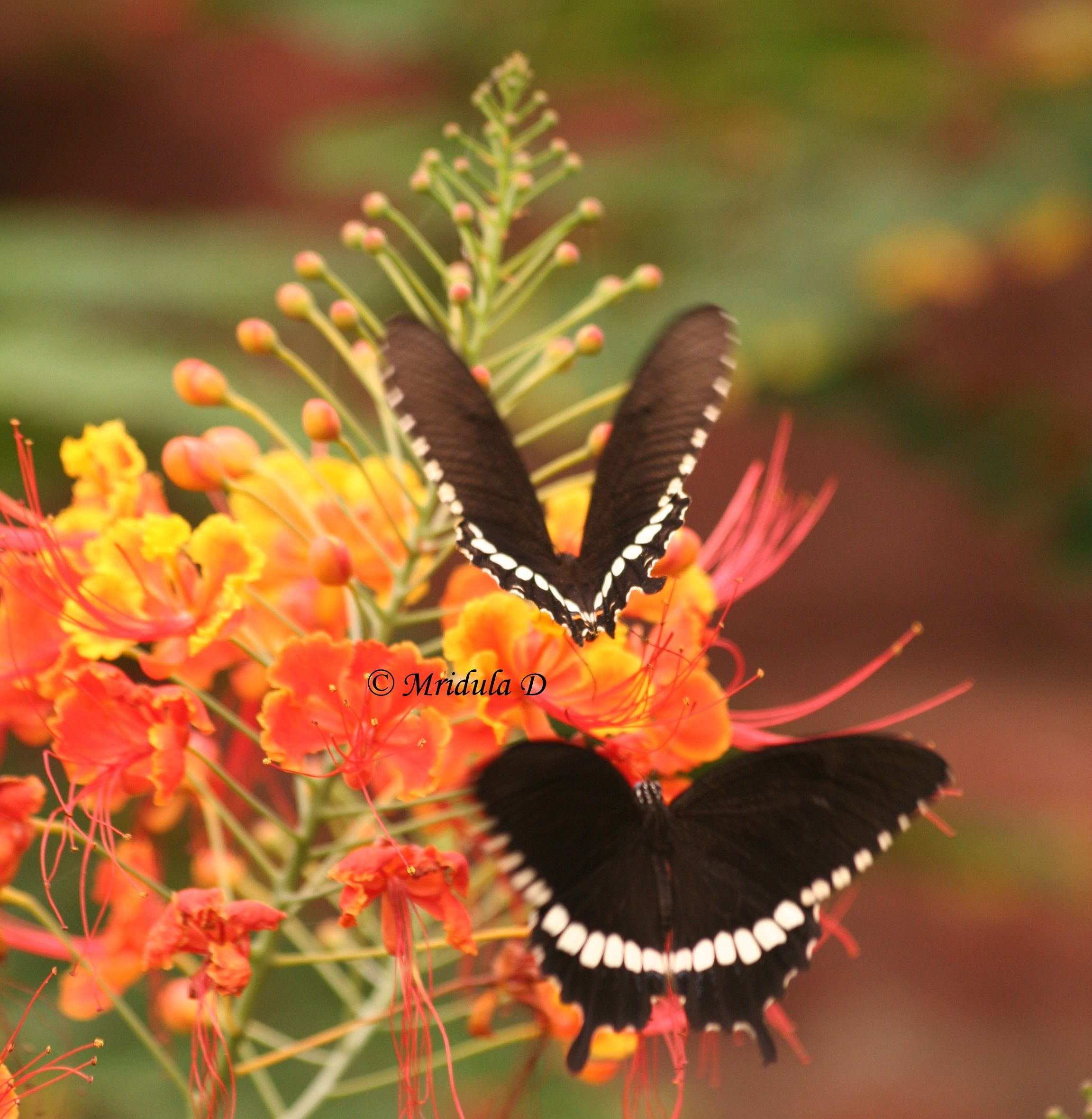 pictures of butterflies | ... - OK, I am Showing off my Butterflies with the Peacock Flowerss