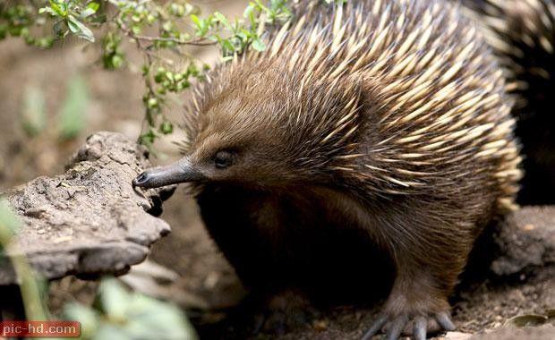 صور حيوان ايكيدنا اجمل صور ايكيدنا Australian Animals Animals Echidna
