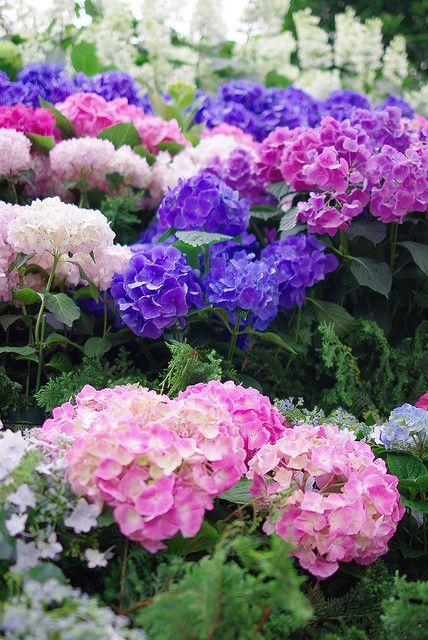 tien puoleiseen nurkkaan: Endless Summer jalohortensia eri värivaihtoehtoja kukkii koko kesän