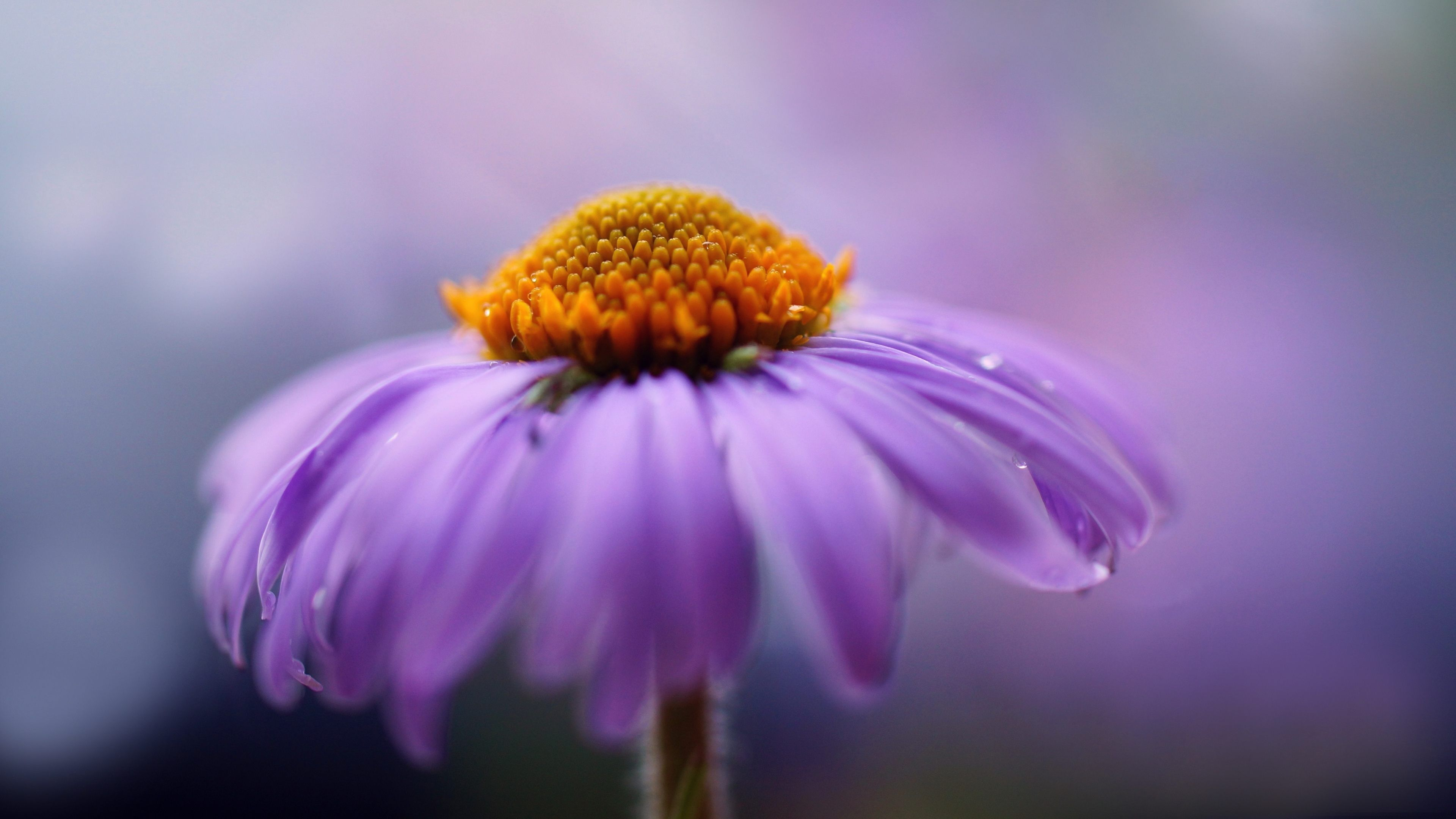 Purple Flower Photography 4k Ultra Hd Wallpaper With Images