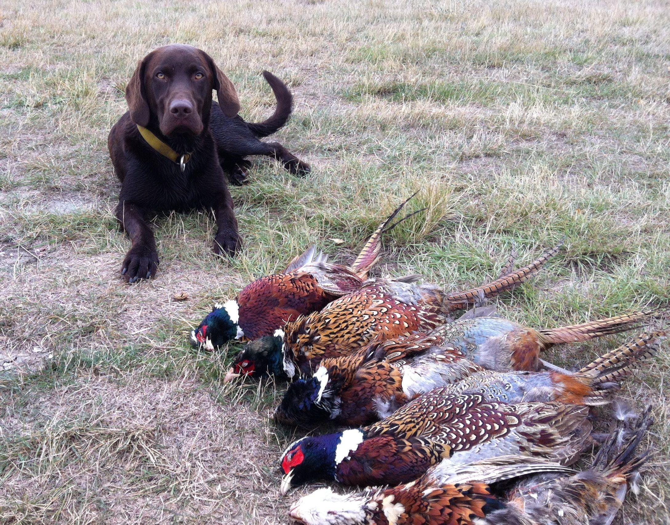 Chocolate Lab Pheasant Hunting Pheasant Hunting Montana Hunting