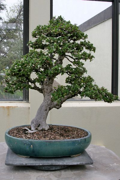The Fukien Tea Bonsai has gray bark with small and shiny green leaves and has a bumpy sand-paper like surface. This bonsai is perfect for beginners beca...