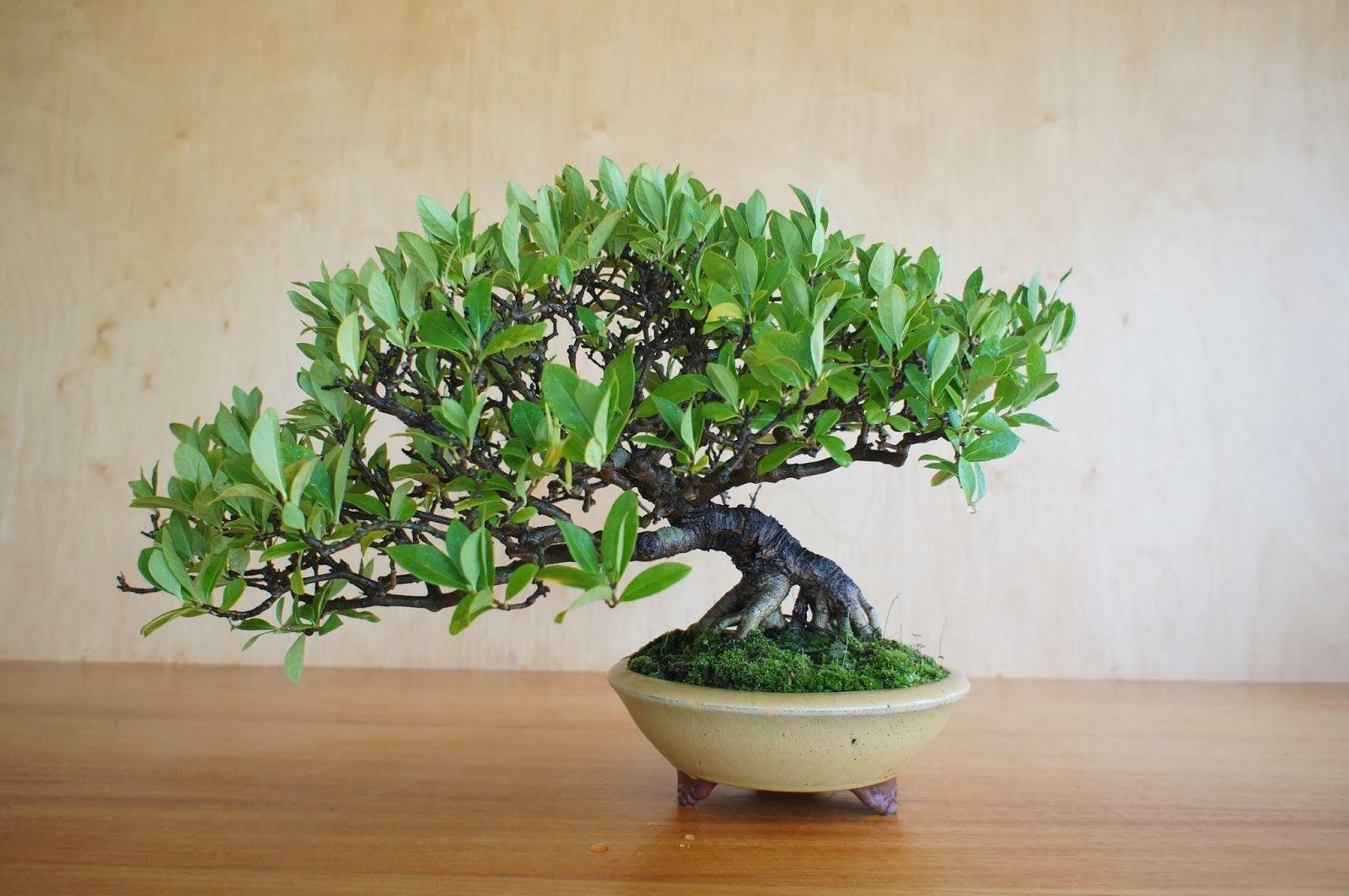 Gardenia Jasminoides Indoor Plants Plants Bonsai