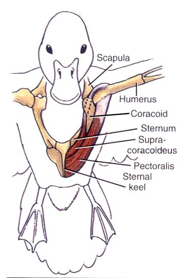 musculos e las aves - Buscar con Google | Anatomia | Pinterest | Las ...