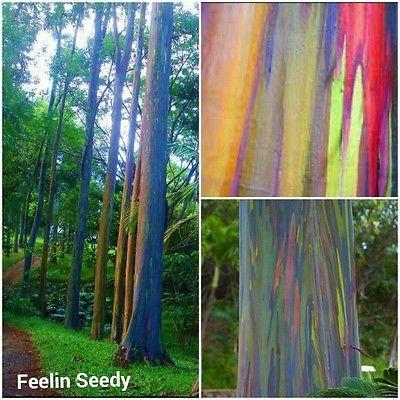 20 Rainbow Eucalyptus Seeds Colourful Bonsai Eucalyptus Deglupta