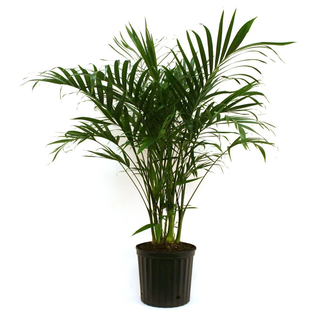 Costa Farms Cateracterum Palm In 9 25 In Grower Pot 10cat The Home Depot Plants Palm Plant House Plants