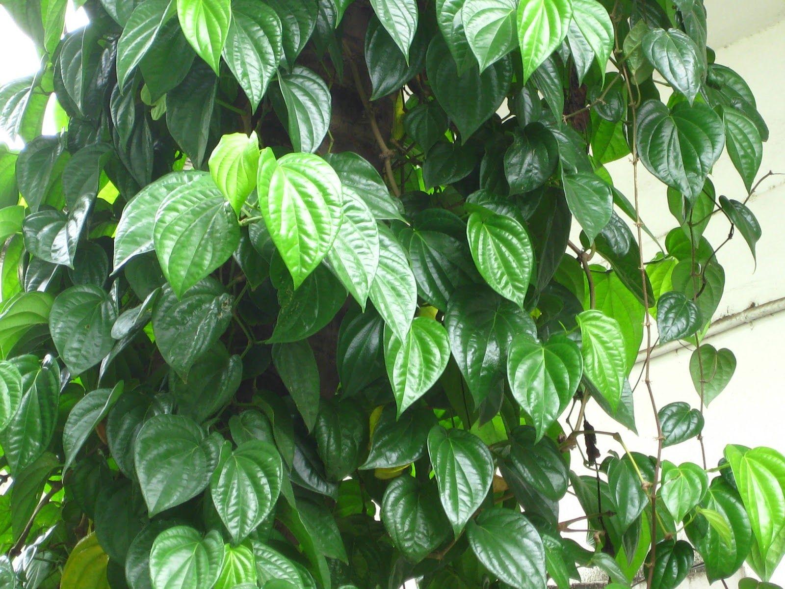 Sirih Atau Tanaman Yang Mempunyai Nama Latin Piper Betle Ini Adalah Tanaman Yang Tumbuh Merambat Pada Pohon Atau Tanaman La Tanaman Tanaman Obat Tanaman Rambat