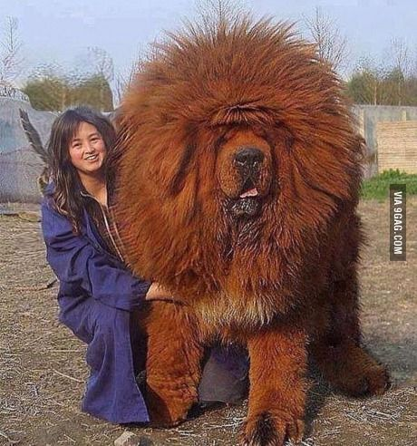 Dog of all dogs - Tibetan mastiff