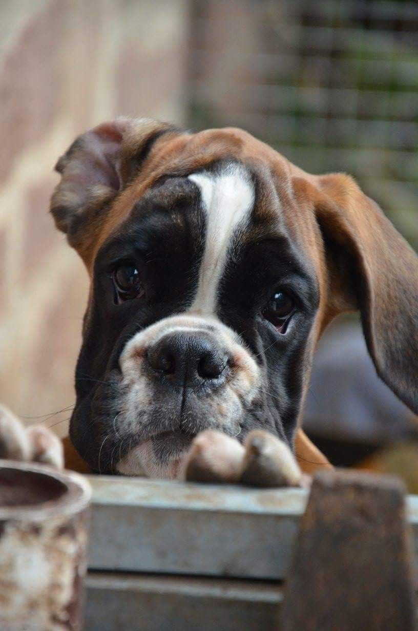 Look At That Face Boxer Dog Puppy Boxer Dogs Boxer Dogs Funny