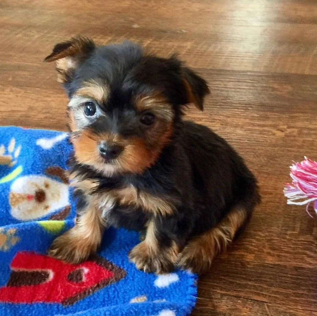 Yorkshire Terrier Puppies For Sale North Carolina 73 North Albemarle Nc In 2020 Yorkshire Terrier Puppies Terrier Puppies Yorkshire Terrier