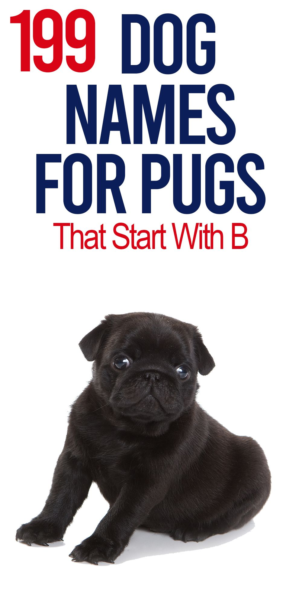 Huge Database Of Pug Names That Start With B To Help You Name Your