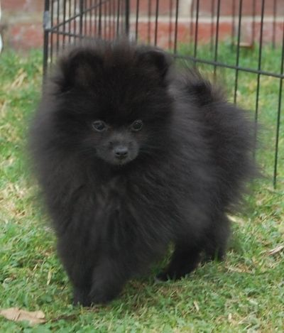 This One Looks Just Like My Pomeranian Only He Has White Front