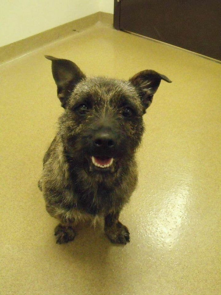 Founddog Adoptable Lebanon Oh Cairn Terrier Mix 513 695 1176