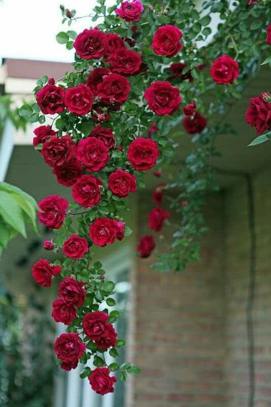 Aiuole, Rose Rosse, Bellissimi Fiori, Rose Da Giardino, Moodboard, Rose  Rampicanti, Giardinaggio, Orti Verdure Piccoli, Giardinaggio In Contenitore