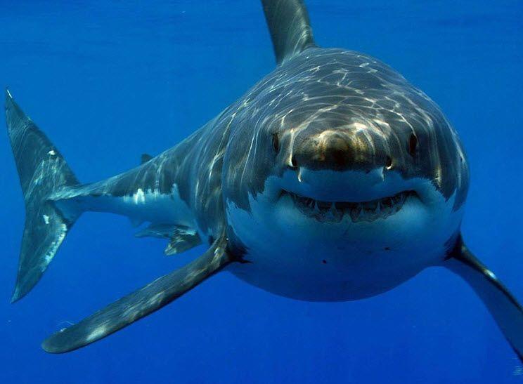 tiger shark animal you sand tiger shark shark week