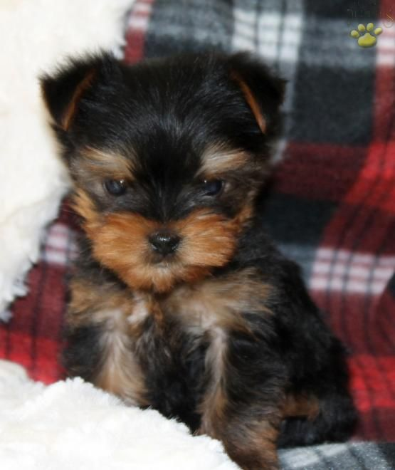 Joey Yorkshire Terrier Puppy For Sale In Ronks Pa Lancaster Puppies Yorkshire Terrier Puppies Yorkshire Terrier Yorkie Terrier
