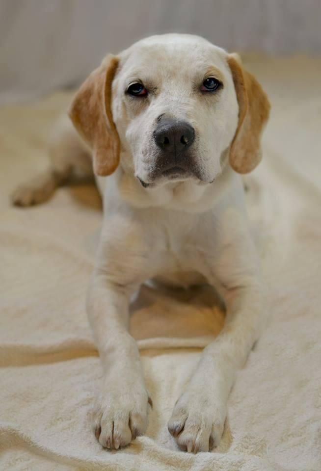 Meet Andy (super chill, loves kids, gentle boy), a Petfinder adoptable Basset Hound Dog | Minneapolis, MN | Name: AndyGender: MaleBreed: Basset mixAge: 2 YearsDog friendly: YesCat friendly: UnknownHouse...