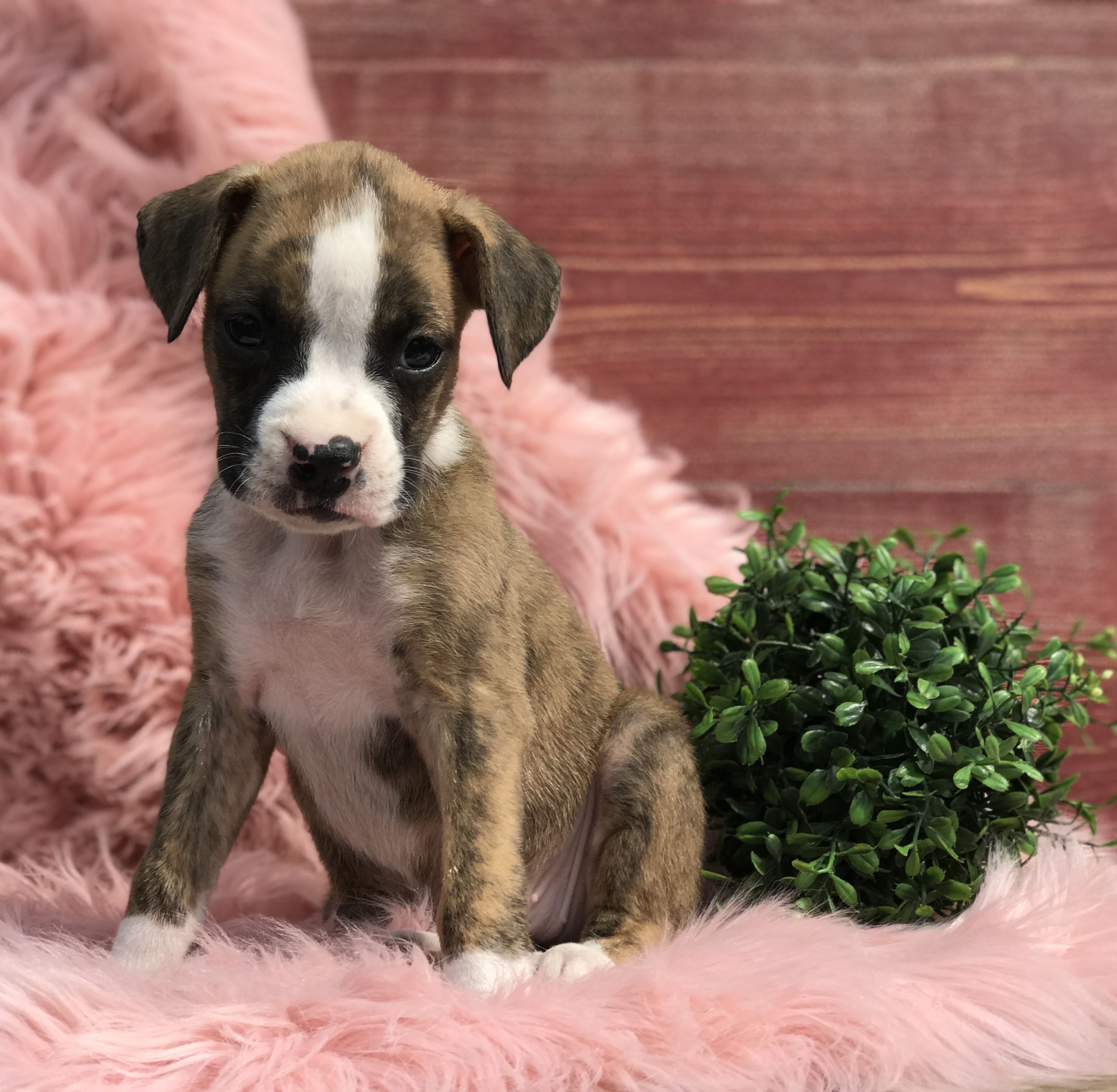 Puppies For Sale Boxer Puppies Boxer Dogs Puppies