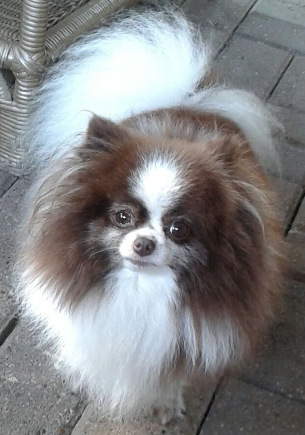 Lost Dog Pomeranian Toy Mcallen Tx United States 78503