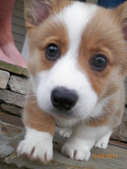 Look Out World Pup With Attitude Corgi Corgi Dog Welsh Corgi Puppies