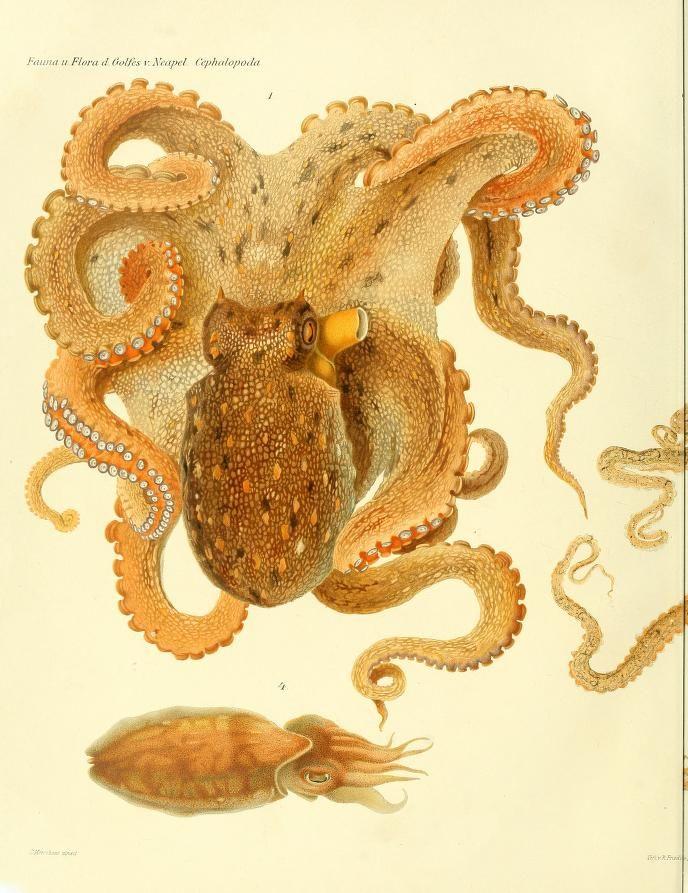 plates only - I Cefalopodi viventi nel Golfo di Napoli (sistematica) : - Biodiversity Heritage Library