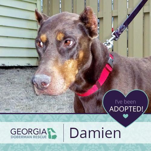 I Ve Been Adopted Doberman Rescue Adoption Doberman