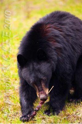Feeding Bears In The Wild Are You Being Helpful Or Destructive Animals Wild Bear Wild