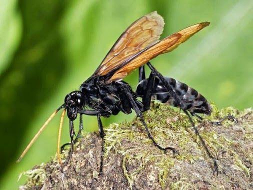 Arab Pest Control Google Tarantula Hawk Wasp Tarantula Hawk Tarantula