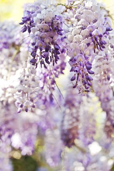 Pin by Mee Sush on Weight Loss | Wisteria, Flowers, Garden
