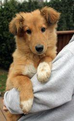 Adopt Barney On Petfinder Sheltie Dogs Shetland Sheepdog Sheltie