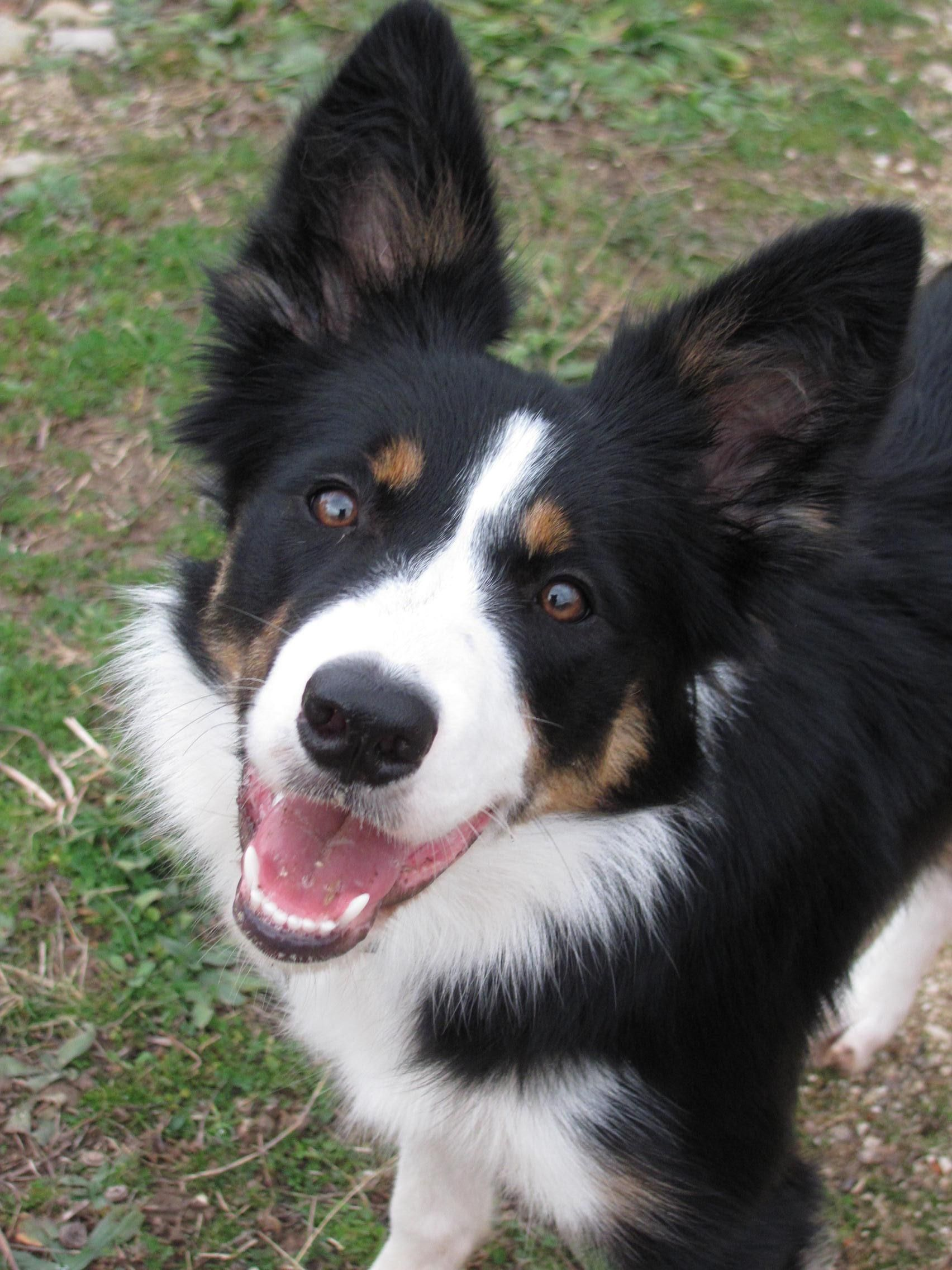 Callie Border Collie 7 M Dog Heaven Puppy Eyes Dog Love