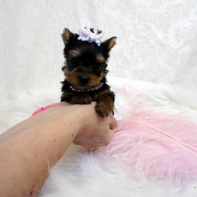 Connu Evelyn - Micro Yorkshire Terrier Pup. She most likely will be  WY29