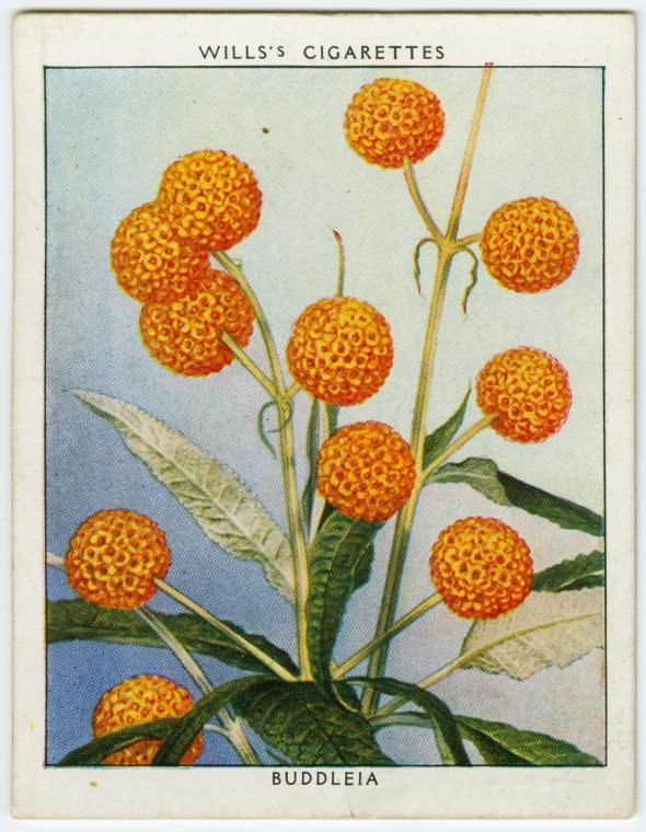 Buddleia Buddleia Globosa Flower Illustration Botanical Illustration Vintage Globe Flower