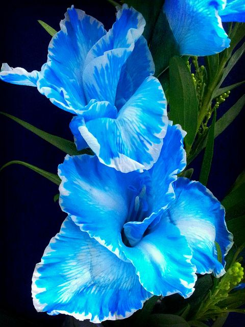 The Blue Gladiolus Gladiolus Flower Gladiolus Wonderful Flowers