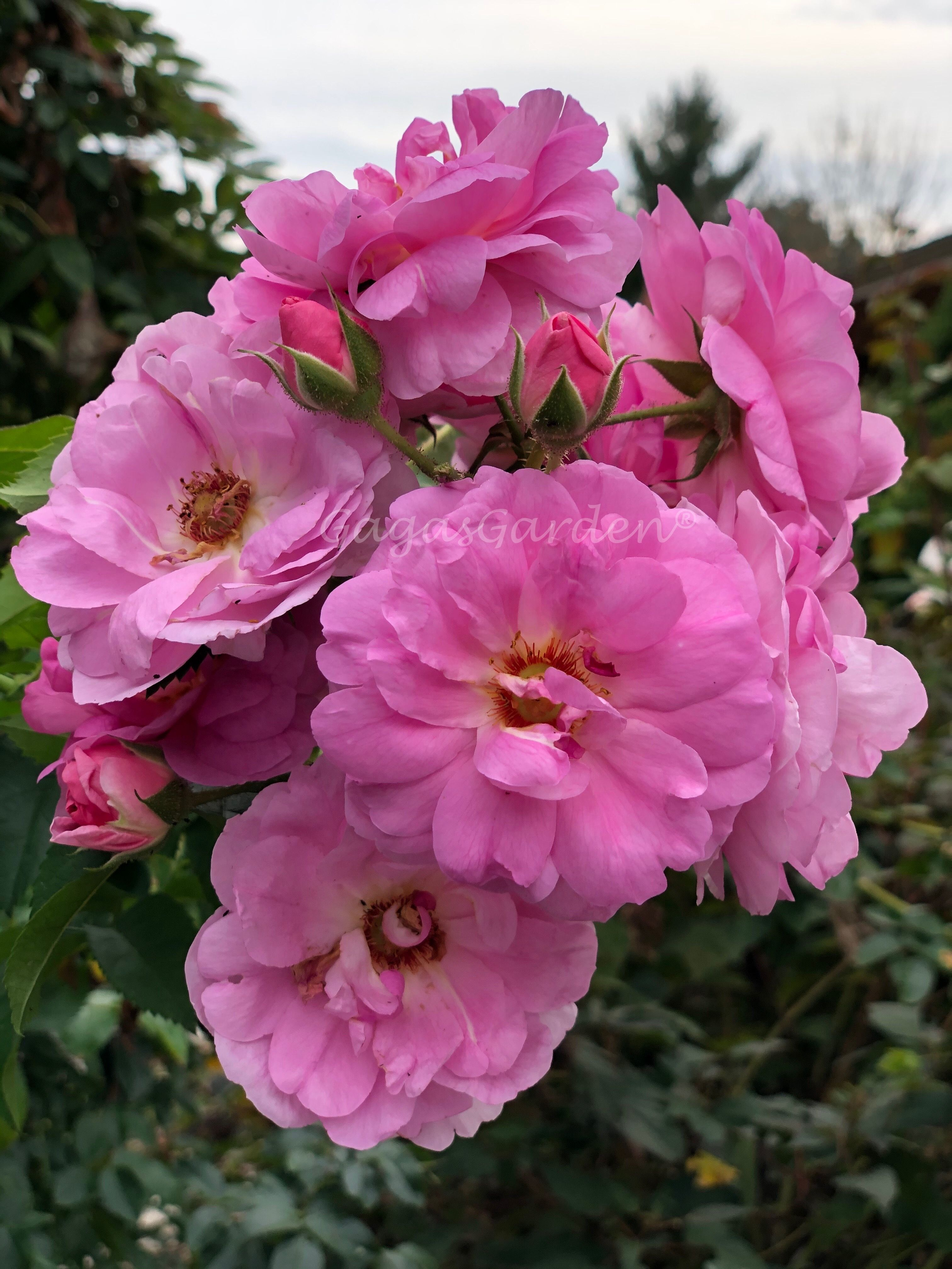 Among the most disease resistant of roses, if you want