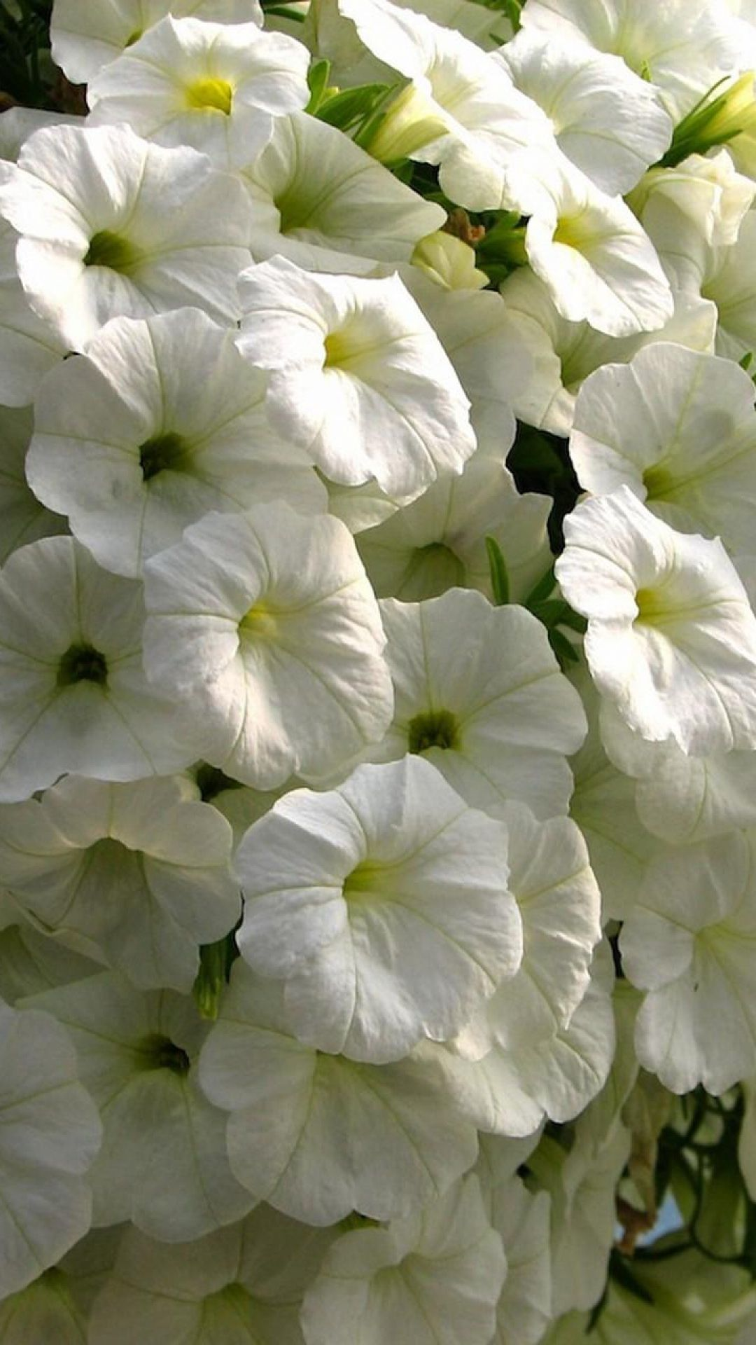 Petunia Flowers Snow White Close Up Beauty Beautiful Flowers Garden Petunias Flowers