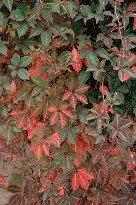 Parthenocissus Henryana North Facing Garden Climber Plants