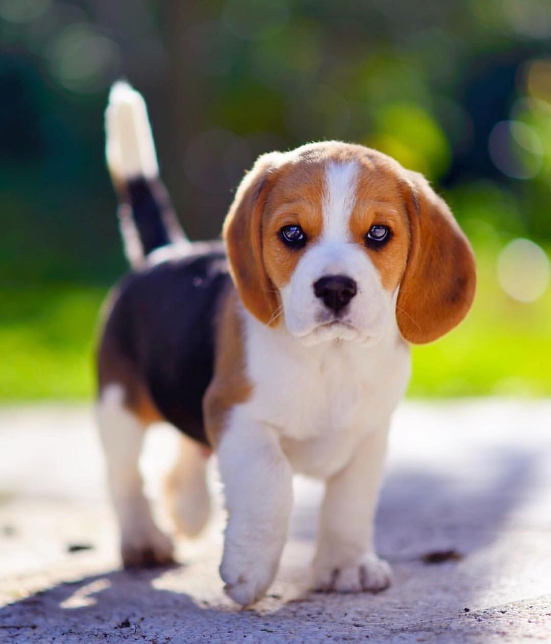 My Pet Cute Beagles Puppies Pet Dogs