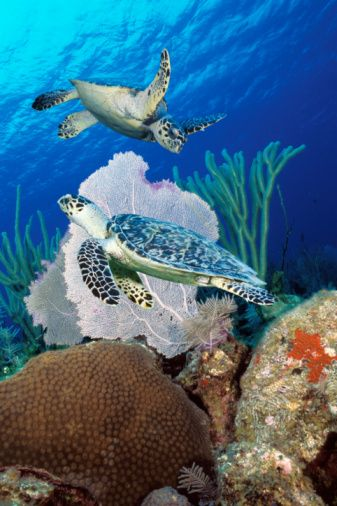 Two hawksbill sea turtles swimming over reef (Digital composite)
