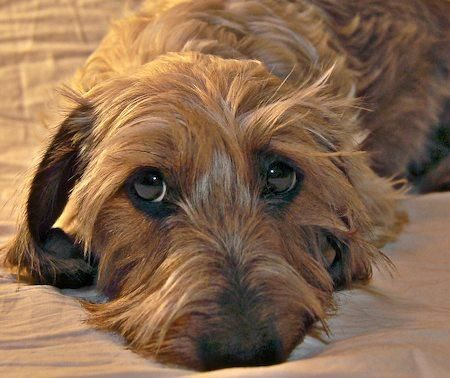 Sadie The Wirehaired Dachshund Wire Haired Dachshund Dachshund