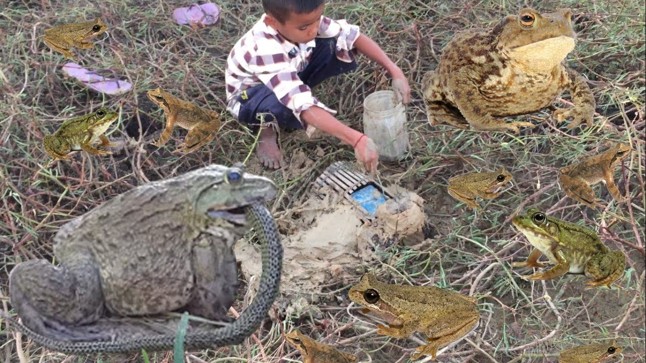 How to deploy frog trap in siem reap how to make frog traps catching