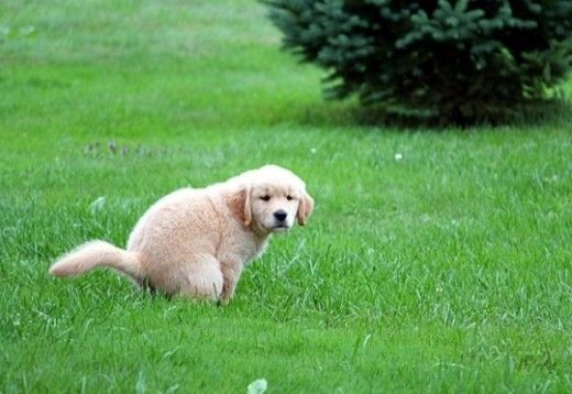 How To Potty Train A Puppy Completely In 7 Days Dog Potty