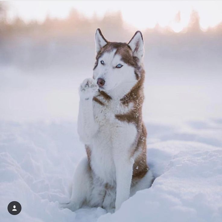 5 Reasons to Own a Siberian Husky Animals I love (mit